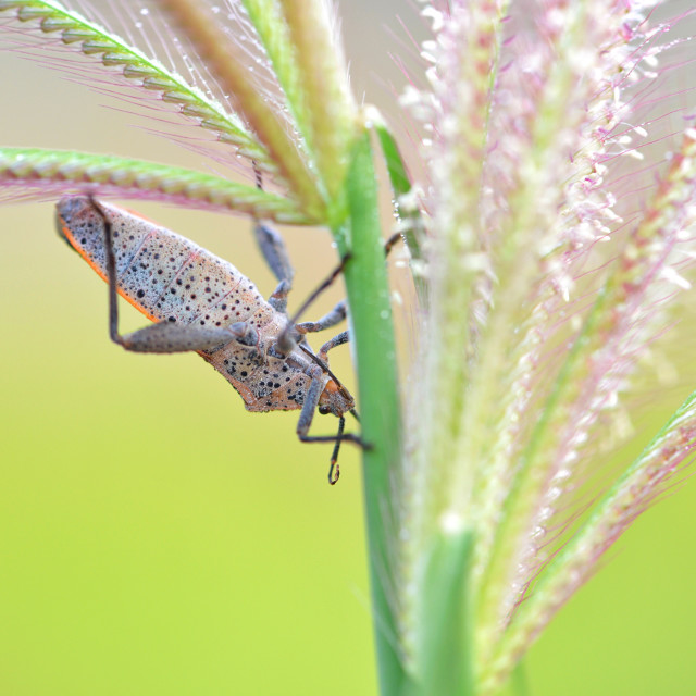"""Brown marmorated stink bug"" stock image"