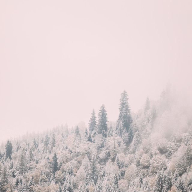 """Pines And Spruce, Fir-trees Covered First Snow In Greenwood Forest. Forest..."" stock image"