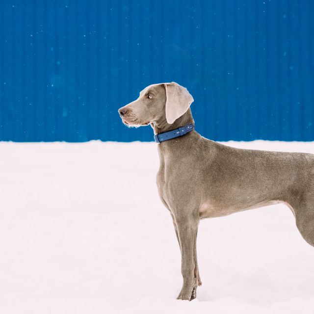 """""""Beautiful Weimaraner Dog Standing In Snow At Winter Day. Large Dog Breds For..."""" stock image"""