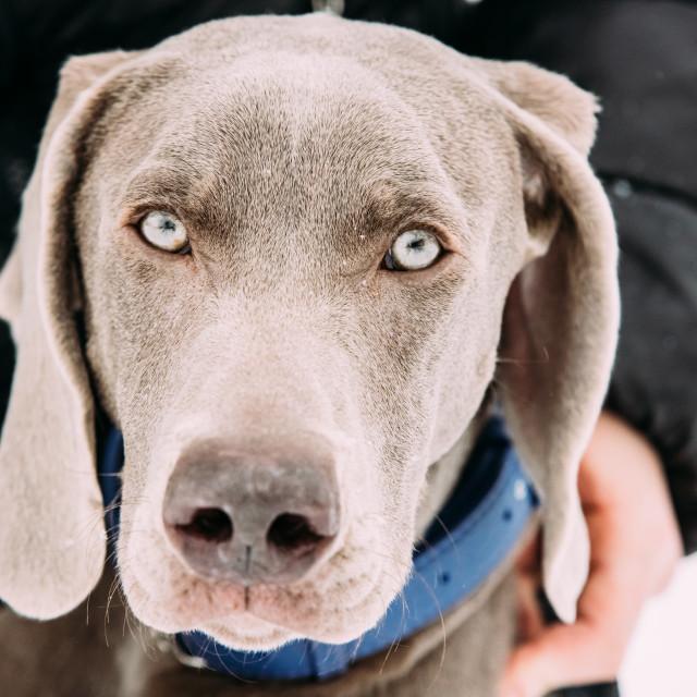 """Close Portrait Of Beautiful Weimaraner Dog. The Weimaraner Is An All-purpose..."" stock image"