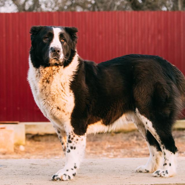 """Central Asian Shepherd Dog Standing In Village Yard. Alabai Dog"" stock image"