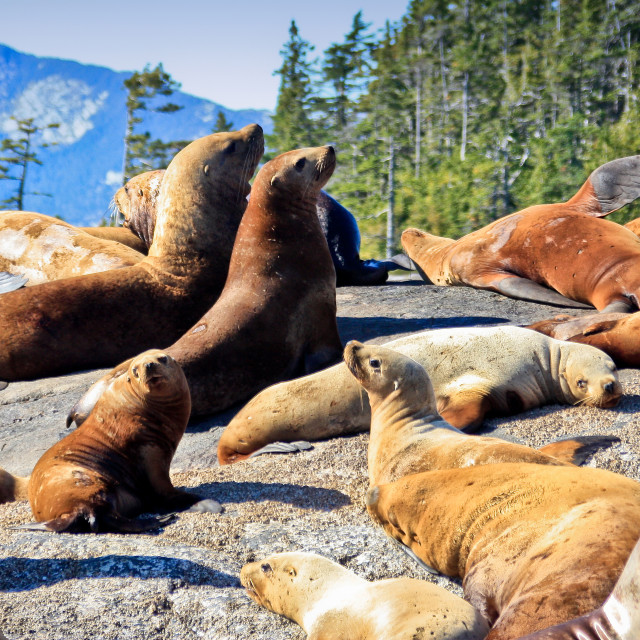 """Steller Sea Lion Colony"" stock image"