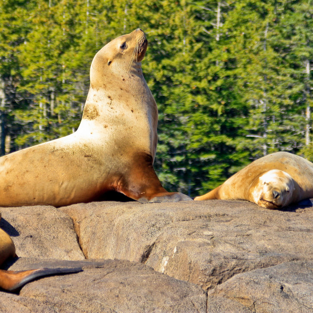 """Steller Sea lion Colony 2"" stock image"
