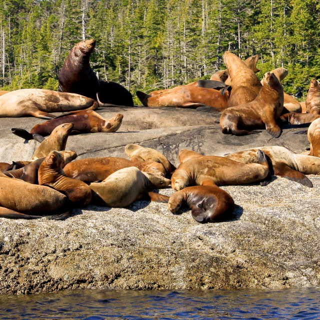 """Steller Sea lion Colony 3"" stock image"
