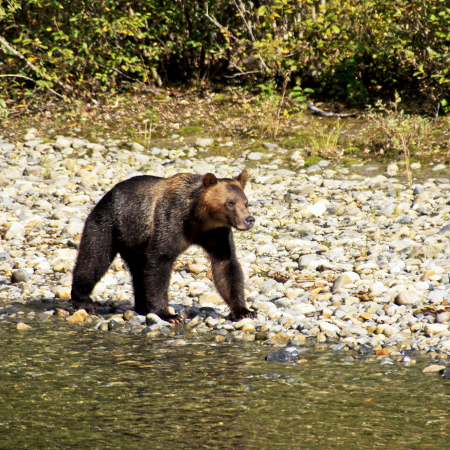 """Young Grizzly Bear - Bute Inlet B.C."" stock image"