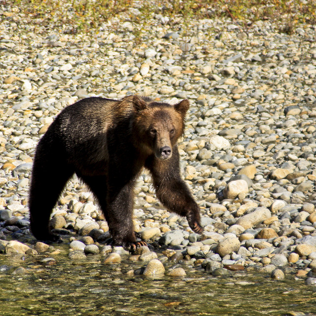"""Young Grizzly Bear 2 - Bute Inlet B.C."" stock image"