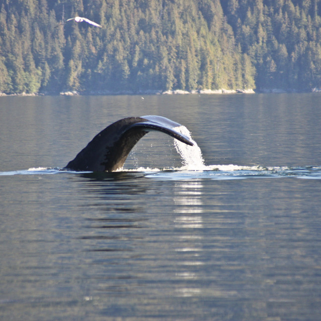 """Humpback Whale, Inside Passage"" stock image"