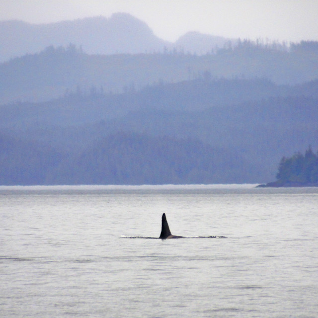 """Orca, Campbell River - Vancouver Island"" stock image"