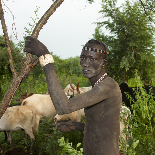 """Bodi Bare Chest Man With Cattle Herd Omo Valley Ethiopia"" stock image"