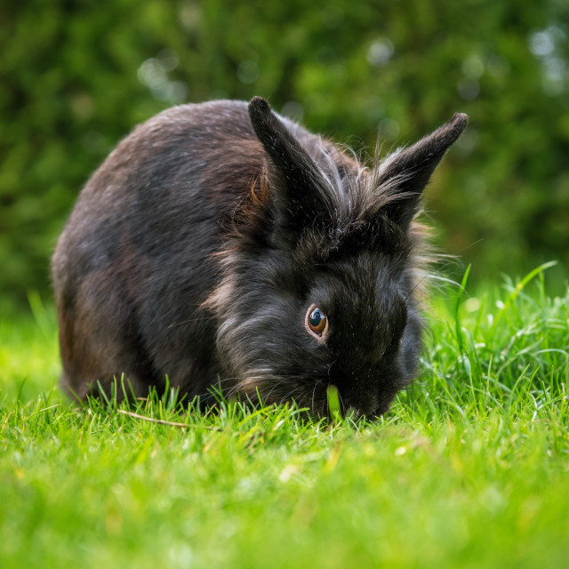 """black rabbit sitting on the grass."" stock image"