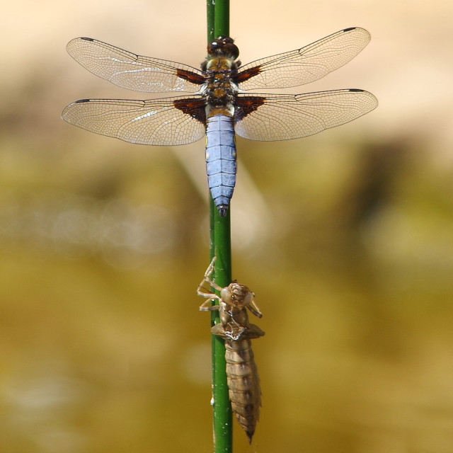 """emergence of a broad body chaser Dragonfly from the pupa."" stock image"
