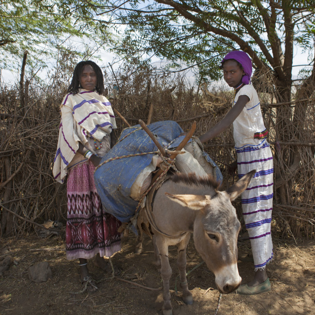 """""""Karrayyu Tribe Women Loading A Donkey Under The Trees During Gadaaa Ceremony,..."""" stock image"""