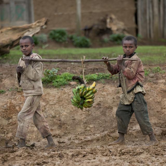 """""""Young Intrigated Boys Carrying A Bunch Of Bananas On A Stick In The Mud,..."""" stock image"""