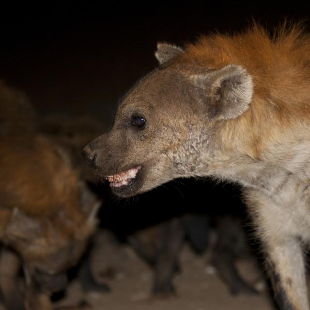 """Hyenas Feeding At Night, Harar, Ethiopia"" stock image"