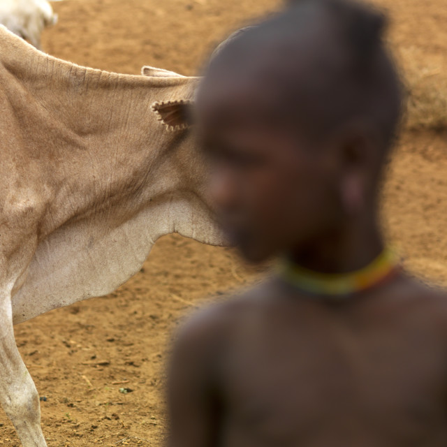 """Bony Cow Passing By A Tsemay Tribe Child, Omo Valley, Ethiopia"" stock image"