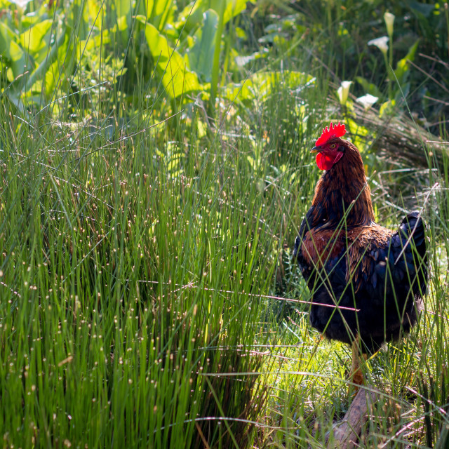 """Rooster standing between tall grass"" stock image"