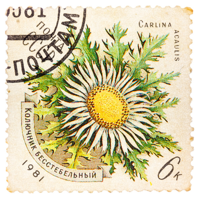 """""""Stamp printed in USSR shows a Carlina acaulis"""" stock image"""