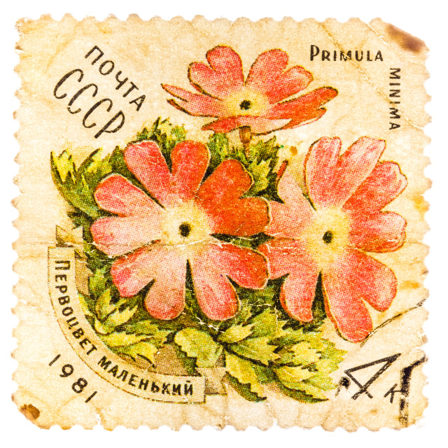 """""""Stamp printed in USSR shows a Primula minima"""" stock image"""