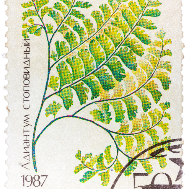 """Stamp printed in the USSR shows Maidenhair"" stock image"