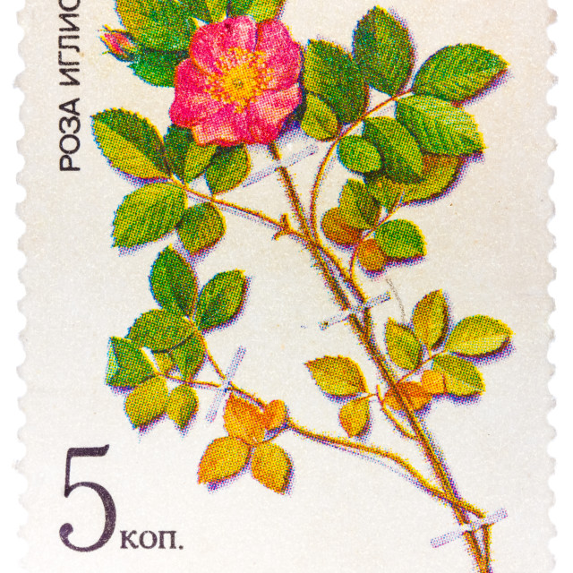 """Stamp from the USSR (Scott 2008 catalog no. 5381) shows a prickly rose (Rosa..."" stock image"