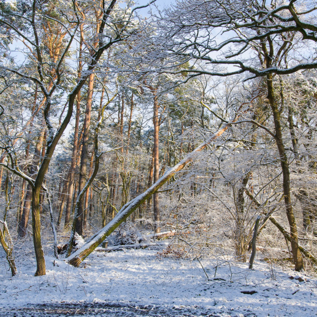 """""""Forest Wilderness In Winter"""" stock image"""