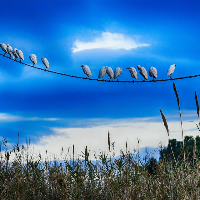 """High voltage egrets"" stock image"
