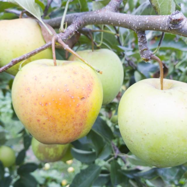 """Yellow apple on tree branch"" stock image"