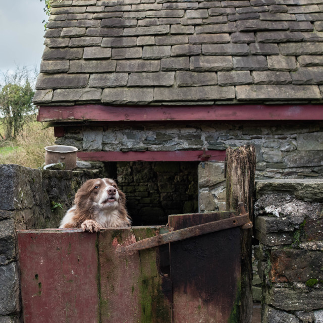 """""""Farm dog at the gate."""" stock image"""