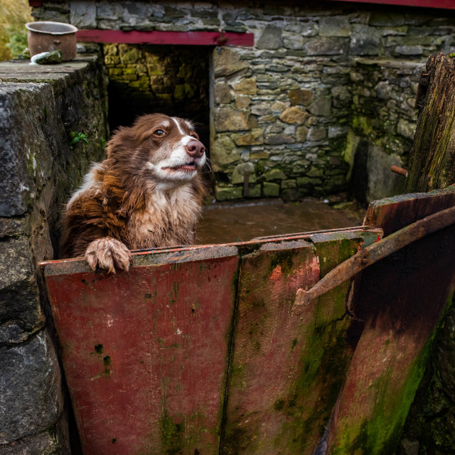 """""""The farm dog opening the gate."""" stock image"""