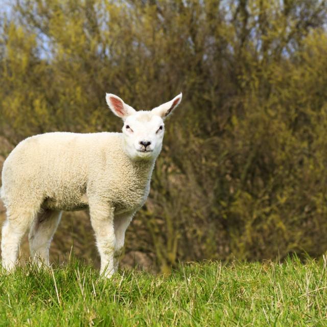 """Cute little lamb"" stock image"