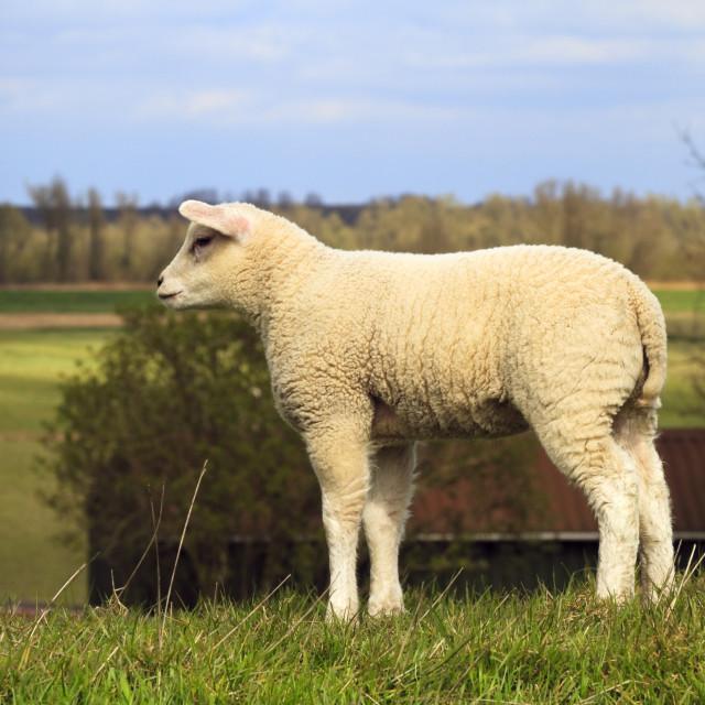 """Young lamb looking"" stock image"