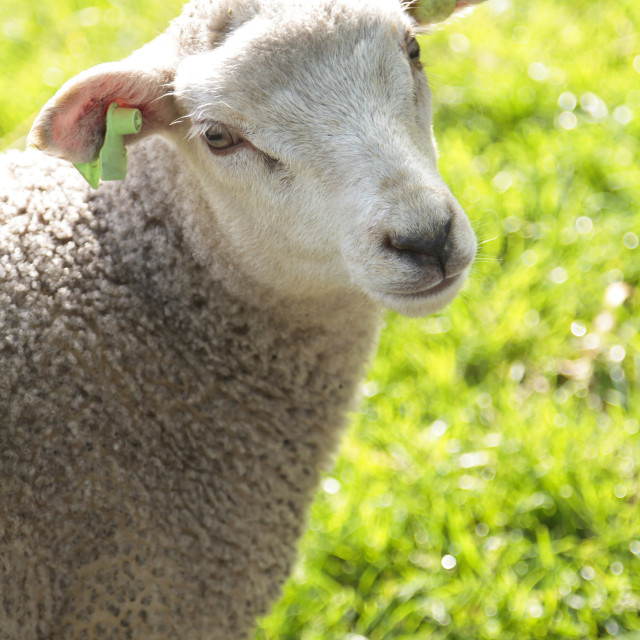 """Wooly lamb looking"" stock image"