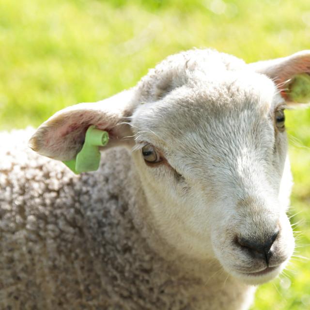 """Cute wooly lamb"" stock image"