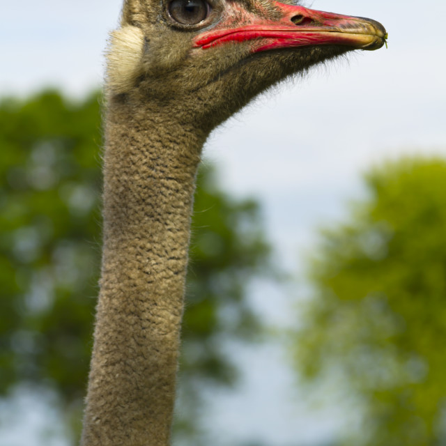 """""""Ostrich close up of head and neck"""" stock image"""