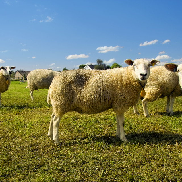"""""""Flock of sheep staring"""" stock image"""