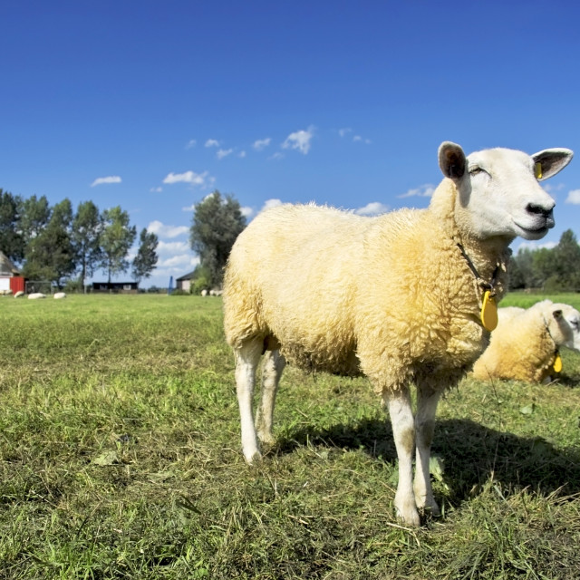 """Proud lamb standing"" stock image"