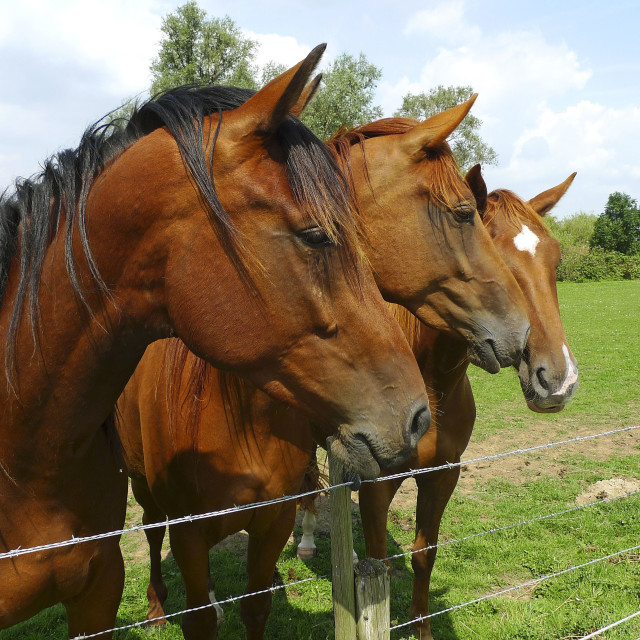 """Three brown horses"" stock image"