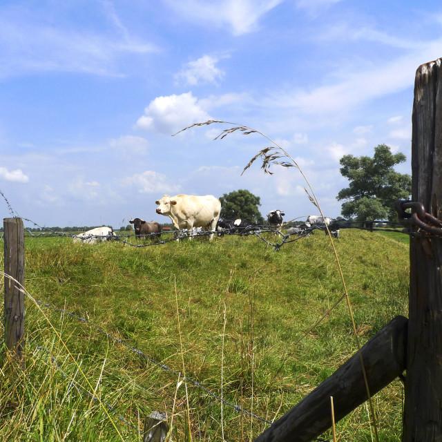 """""""Herd of cows"""" stock image"""