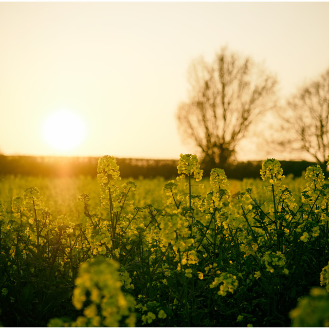 """""""Rape seed flowers contra jour"""" stock image"""
