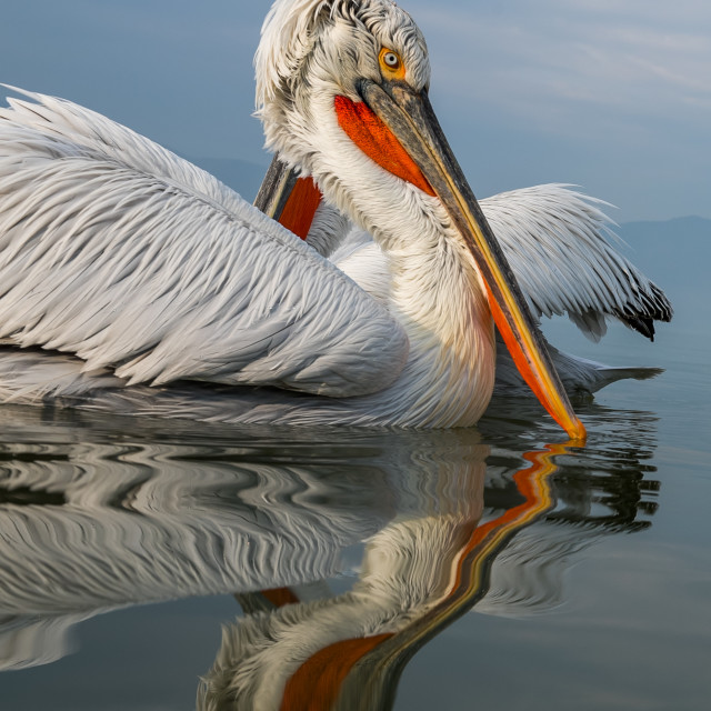 """A Dalmatian pelican"" stock image"