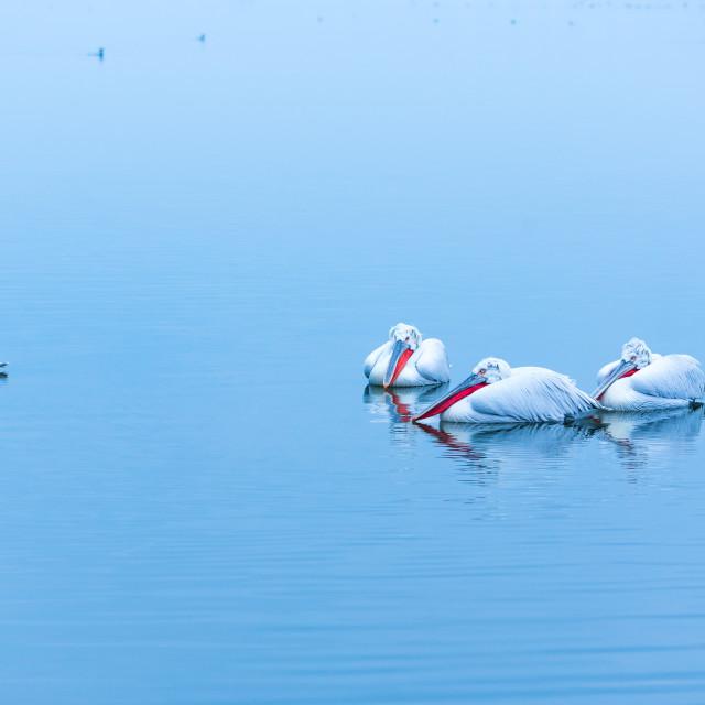"""Dalmatian pelicans"" stock image"