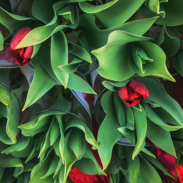 """""""Close Up Image of Red Tulip Bouquets"""" stock image"""
