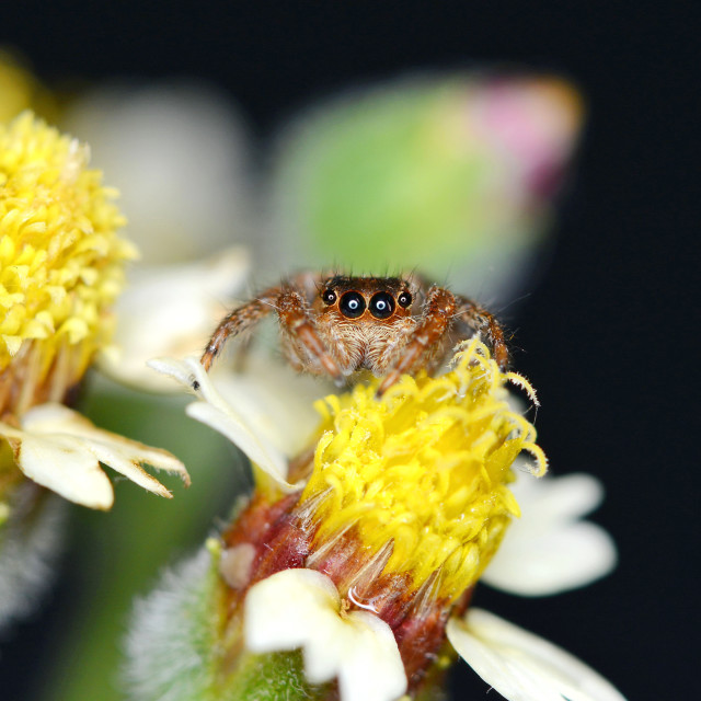 """Jumping spider on dandelion"" stock image"