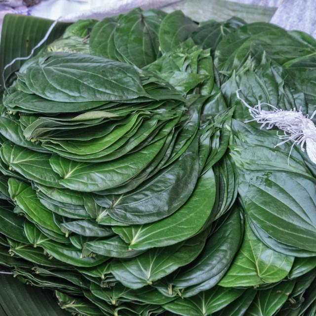 """Fresh Tobacco Leaves"" stock image"
