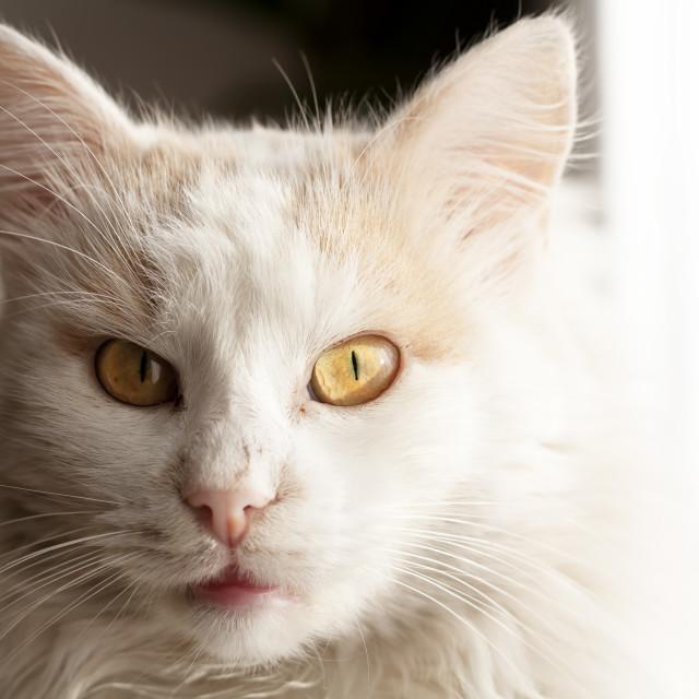 """""""Turkish angora cat"""" stock image"""