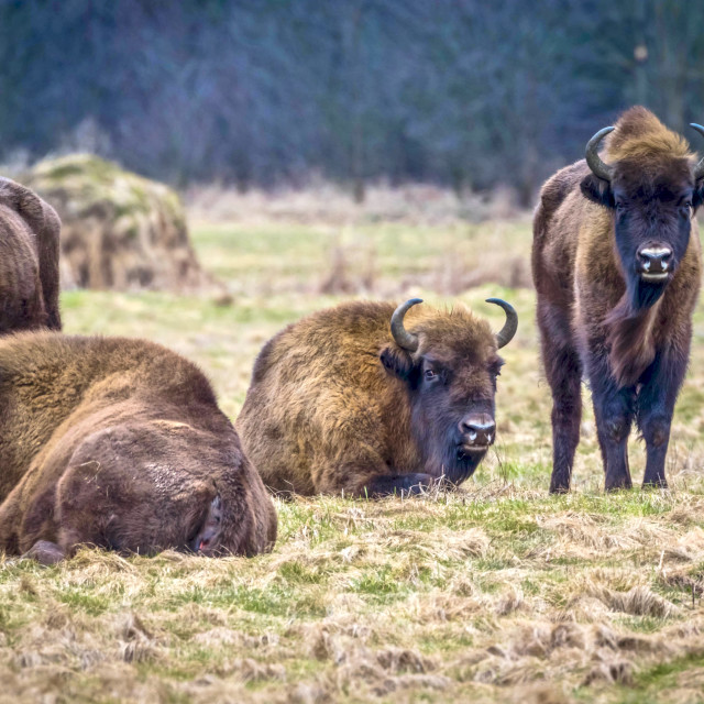 """Bisons"" stock image"