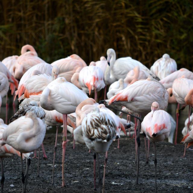 """Flamingo Flock"" stock image"