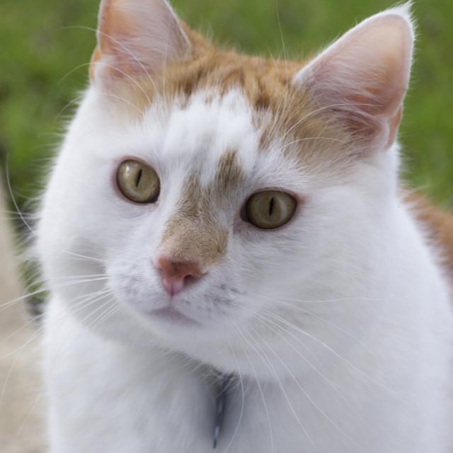 """Domestic Cat"" stock image"