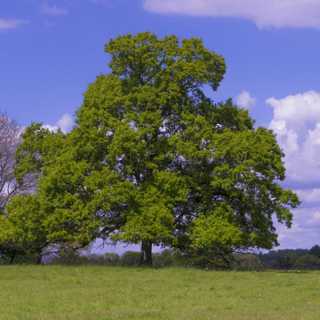 """Oak Tree Quercus robur)"" stock image"