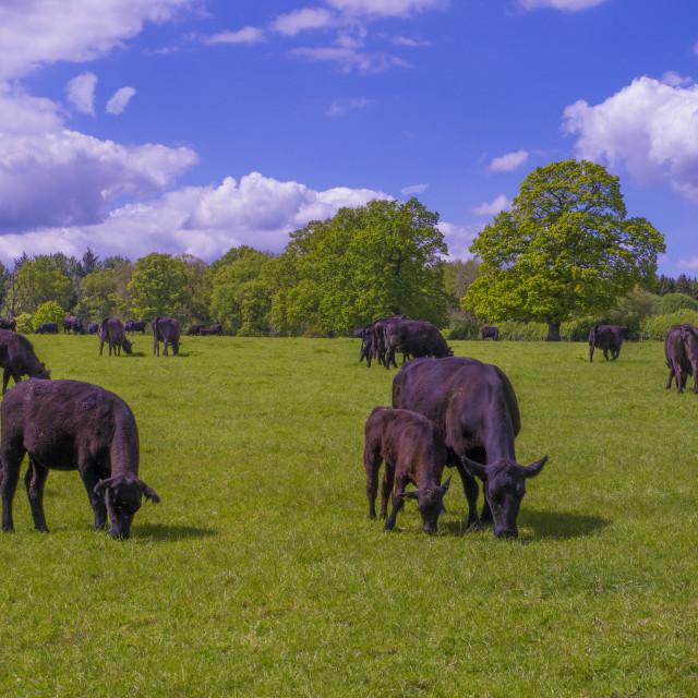 """""""Herd of Cows Grazing"""" stock image"""